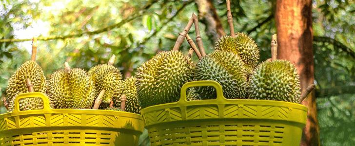 esrizal Fruit Basket (shahrizal)